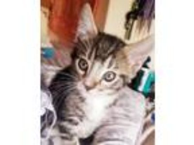 Adopt Sprout (gf) a Tabby