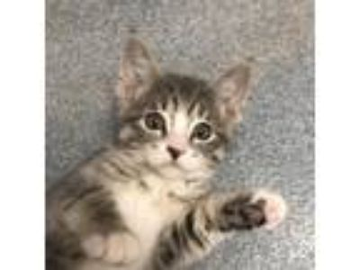 Adopt Minnow a Gray or Blue Domestic Shorthair cat in Rochester, MN (25648192)