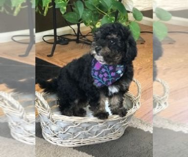 Poodle (Toy) PUPPY FOR SALE ADN-127160 - Toy Poodle