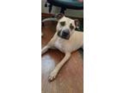Adopt Phoenix a Tan/Yellow/Fawn - with Black German Shepherd Dog / American Pit