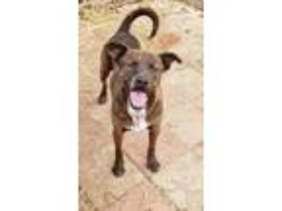 Adopt Leroy a Brindle Mountain Cur / Mixed dog in Boaz, AL (21043793)