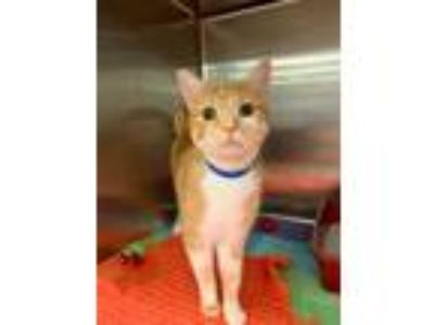 Adopt Finnegan a Orange or Red Domestic Shorthair / Domestic Shorthair / Mixed