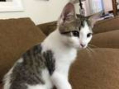 Adopt Scooter a American Shorthair