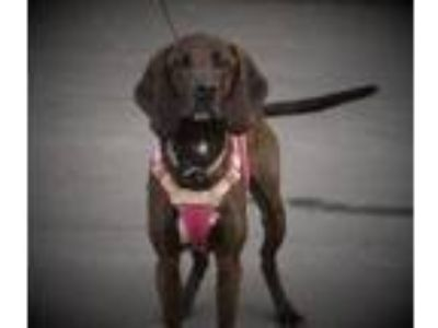 Adopt Hank a Plott Hound, Labrador Retriever
