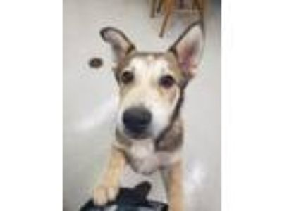 Adopt Chrome a Siberian Husky, German Shepherd Dog