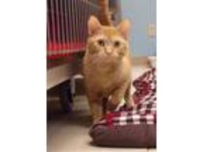 Adopt Kio a Domestic Short Hair