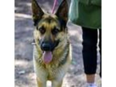 Adopt Nikolas a German Shepherd Dog