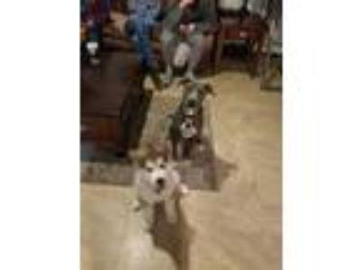 Adopt Mac a Gray/Blue/Silver/Salt & Pepper American Pit Bull Terrier dog in