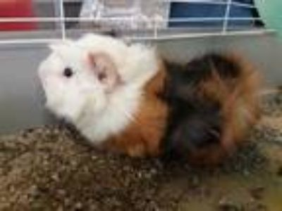 Adopt October a Brown or Chocolate Guinea Pig / Mixed small animal in