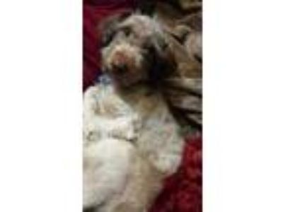 Adopt cranberry a Brown/Chocolate - with Tan Schnauzer (Miniature) / Mixed dog