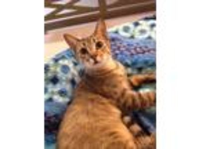 Adopt Minnie a Brown Tabby Domestic Shorthair (short coat) cat in Madisonville