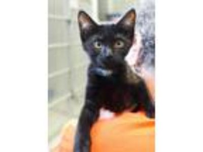 Adopt Snugs (Lilith kitten 1) a Domestic Shorthair / Mixed (short coat) cat in