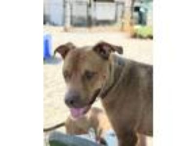 Adopt Zeus a Red/Golden/Orange/Chestnut American Pit Bull Terrier / Mixed dog in
