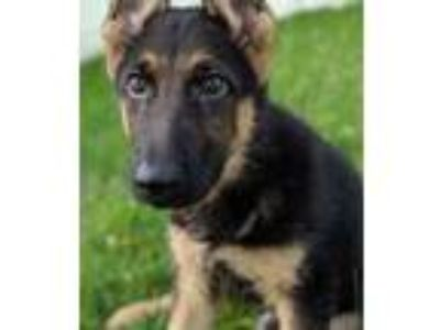 Adopt Simon a Black German Shepherd Dog / Mixed dog in Wooster, OH (25544137)