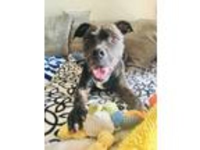Adopt Bessie a Pit Bull Terrier / Mixed dog in Ft. Lauderdale, FL (19003725)