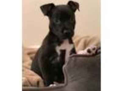 Adopt Tori a Black Border Collie / American Pit Bull Terrier / Mixed dog in