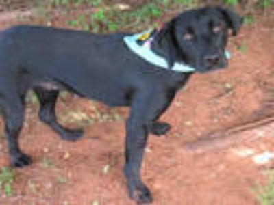 Adopt a Black Labrador Retriever / Mixed dog in Oklahoma City, OK (25593223)