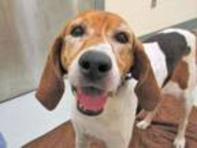 Adopt Lady Belle a Treeing Walker Coonhound