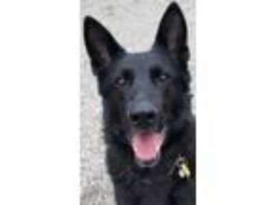 Adopt Lupin a German Shepherd Dog