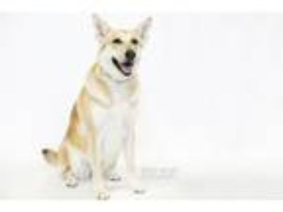 Adopt Betty a Tan/Yellow/Fawn - with Black Shepherd (Unknown Type) / Mixed dog