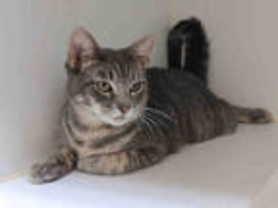 Adopt LAIRD a Gray, Blue or Silver Tabby Domestic Shorthair / Mixed (short coat)