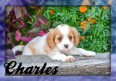 Charles: Male Cavachon Puppy
