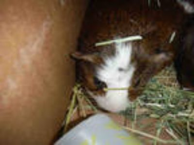 Adopt COLEMAN a Brown or Chocolate Guinea Pig / Mixed small animal in San Jose