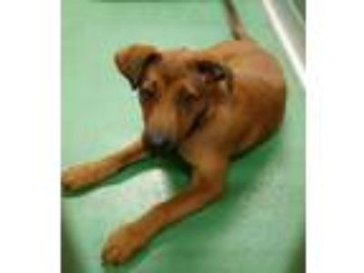 Adopt Doug a Red/Golden/Orange/Chestnut Retriever (Unknown Type) / German