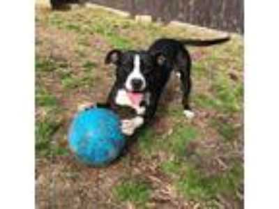 Adopt LeeLoo a Pit Bull Terrier / Mixed dog in Richmond, VA (25561686)