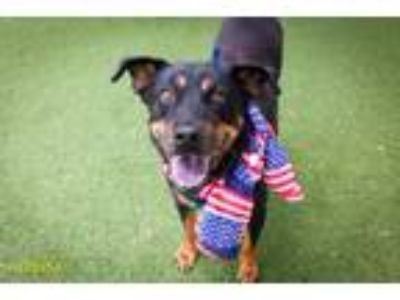 Adopt SHADOW a Rottweiler, Mixed Breed