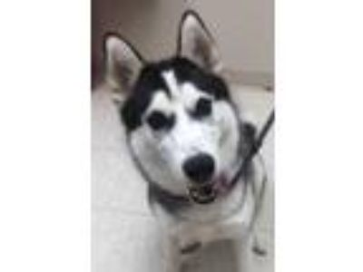 Adopt Luna a White Husky / Mixed dog in Noblesville, IN (25892419)