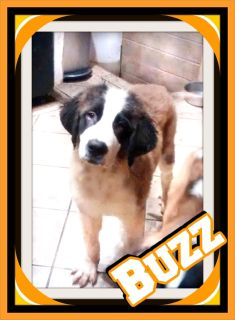Buzz AKC Dry Mouth Saint Bernard 330-826-1882 t/c 399.00 New Photos 10-15-18