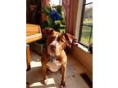 Adopt Bruno a Pit Bull Terrier