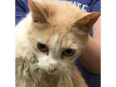 Adopt Cory a Domestic Shorthair / Mixed cat in Spokane Valley, WA (25311514)