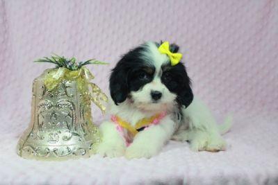 Malspaniel (maltese/Cocker Spaniel) puppies in Las Vegas available for Christmas