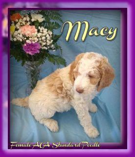Macy ACA Female Standard Poodle