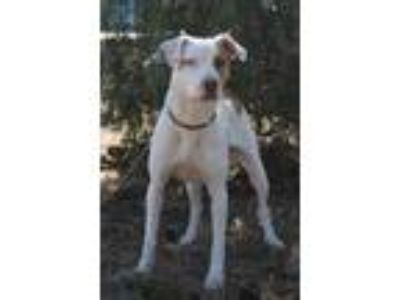 Adopt Dakota a White American Pit Bull Terrier / Pointer / Mixed dog in
