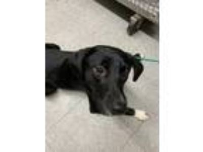 Adopt JANNA a Black Retriever (Unknown Type) / Mixed dog in Mayfield