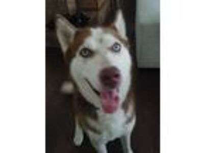 Adopt Rosco a Red/Golden/Orange/Chestnut - with White Husky dog in Jersey