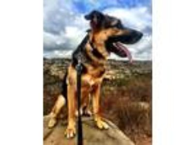 Adopt Roosevelt a Black - with Tan, Yellow or Fawn German Shepherd Dog / Belgian
