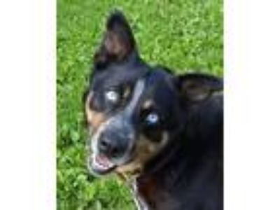 Adopt Zeppelin a Australian Cattle Dog / Blue Heeler
