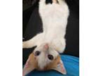 Adopt Vinton a White Domestic Shorthair / Domestic Shorthair / Mixed cat in