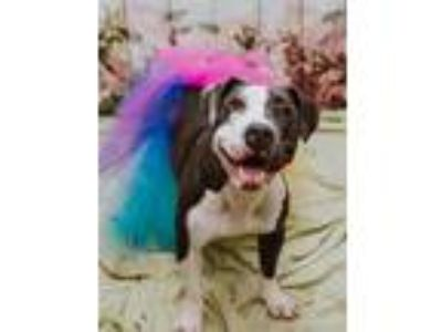 Adopt Cleo a Gray/Silver/Salt & Pepper - with White Pit Bull Terrier / Mixed dog