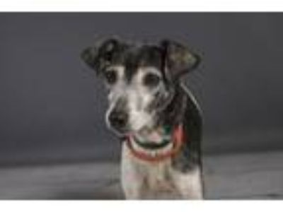 Adopt BELLA a Parson Russell Terrier, Mixed Breed