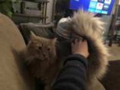 Adopt Oliver and Tom a Maine Coon, Domestic Short Hair