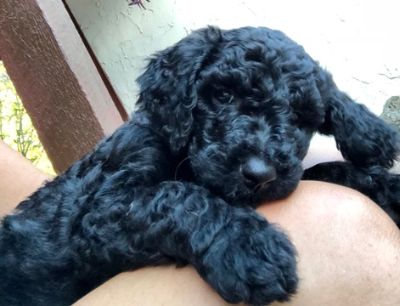 Goldendoodle-Poodle (Standard) Mix PUPPY FOR SALE ADN-109161 - Goldendoodle Puppy Ready to go Home