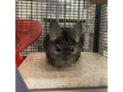 Adopt Chinchi a Silver or Gray Chinchilla (short coat) small animal in