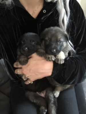 German Shepherd Dog PUPPY FOR SALE ADN-79939 - Exquisite purebred German Shepherd puppies