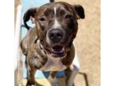 Adopt Kyra a Brindle American Pit Bull Terrier / Mixed dog in Oakland