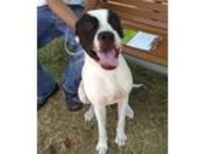 Adopt a White - with Black Pointer / American Pit Bull Terrier / Mixed dog in